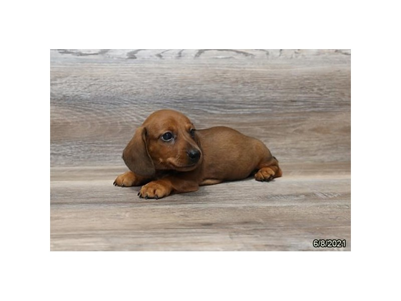 Dachshund- Available 7/8-DOG-Male-Wild Boar-3209093-PetCenter Old Bridge Puppies For Sale