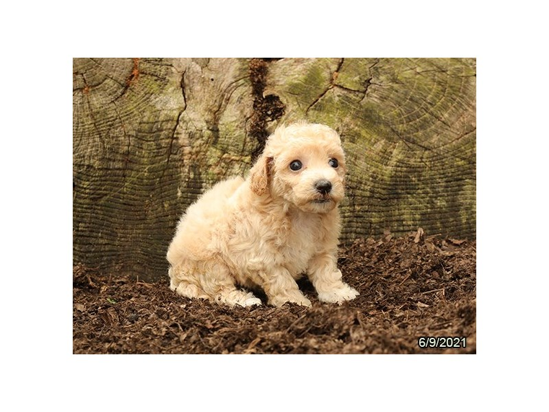 Bichon Poo- Available 7/8-Female-Apricot-3209144-PetCenter Old Bridge Puppies For Sale