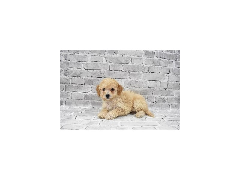 Bichon Poo- Available 7/8-DOG-Female-Apricot-3209377-PetCenter Old Bridge Puppies For Sale