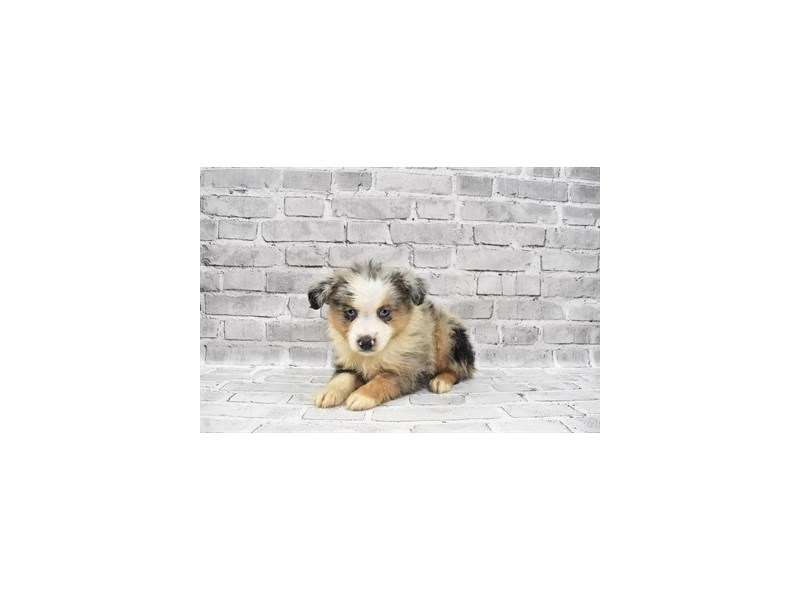 Miniature Australian Shepherd- Available 7/8-Male-Blue Merle White and Tan-3209392-PetCenter Old Bridge Puppies For Sale