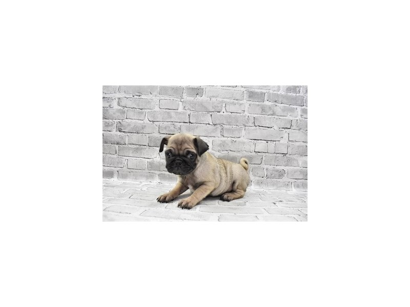 Pug- Available 7/8-DOG-Male-Fawn-3209404-PetCenter Old Bridge Puppies For Sale