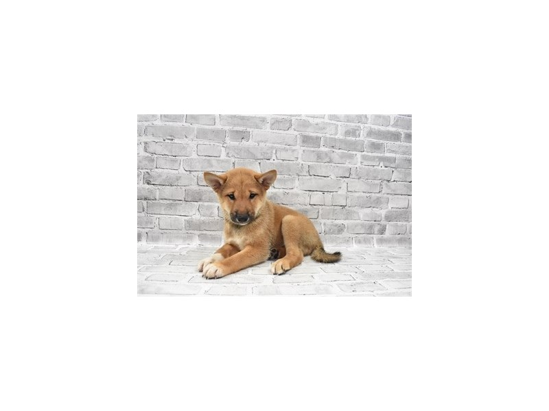 Shiba Inu- Available 7/8-DOG-Male-Red-3209452-PetCenter Old Bridge Puppies For Sale