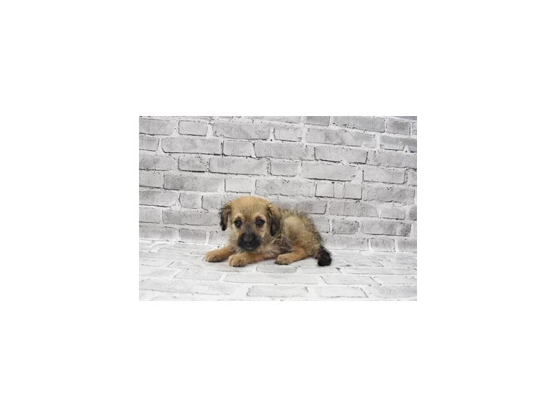 Havachon- Available 7/8-DOG-Female-Fawn Sable-3209518-PetCenter Old Bridge Puppies For Sale