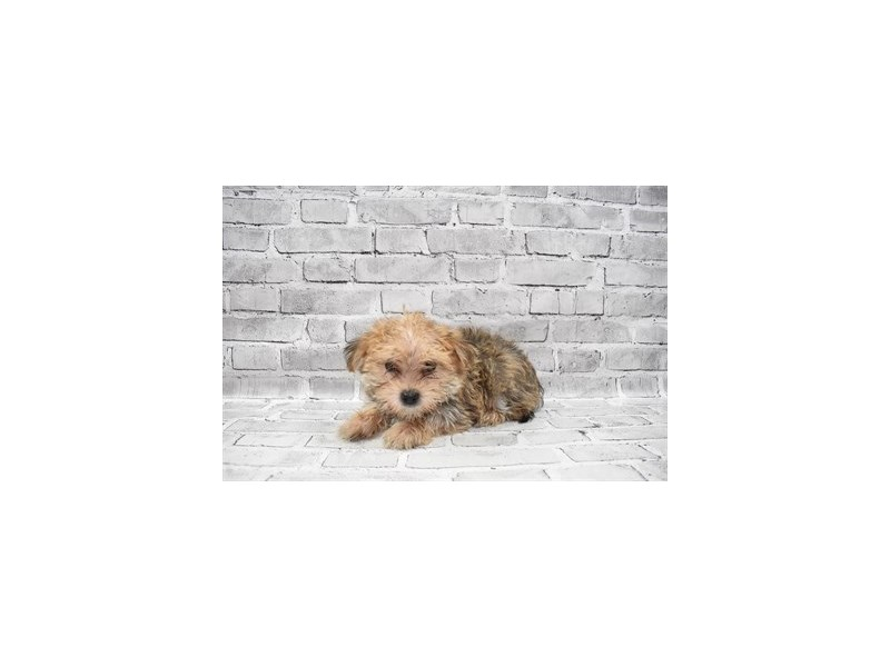 Morkie- Available 7/8-DOG-Male-Gold-3209533-PetCenter Old Bridge Puppies For Sale