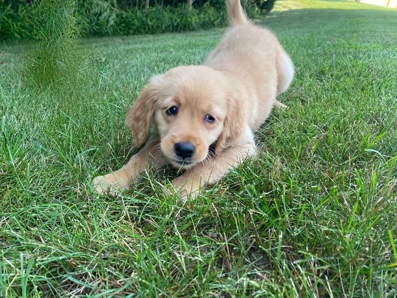 Golden Retriever-Female-Golden-3209088-PetCenter Old Bridge Puppies For Sale