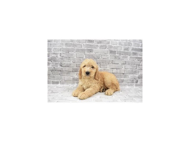 Mini Goldendoodle- Available 7/15-DOG-Male-Golden-3219315-PetCenter Old Bridge Puppies For Sale