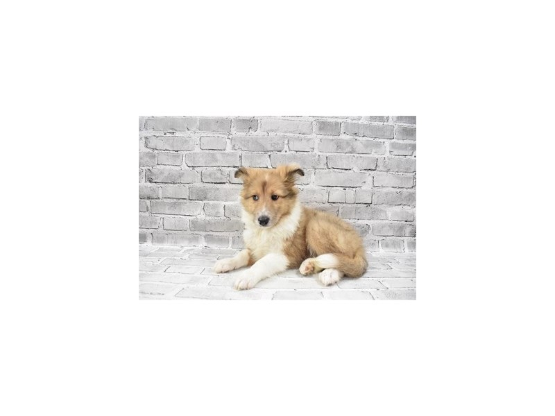 Shetland Sheepdog- Available 7/15-DOG-Female-Sable Merle and White-3219355-PetCenter Old Bridge Puppies For Sale