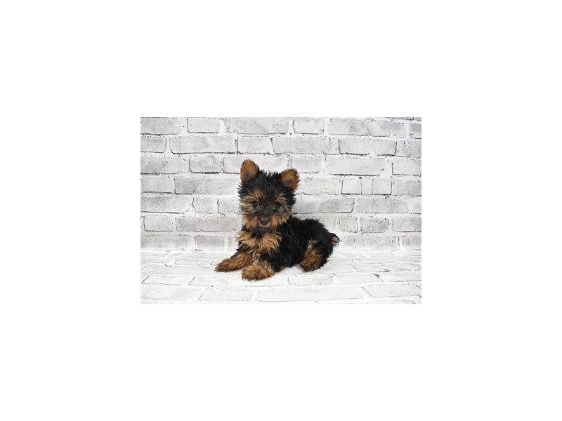 Yorkshire Terrier- Available 7/15-Female-Black and Tan-3219406-PetCenter Old Bridge Puppies For Sale