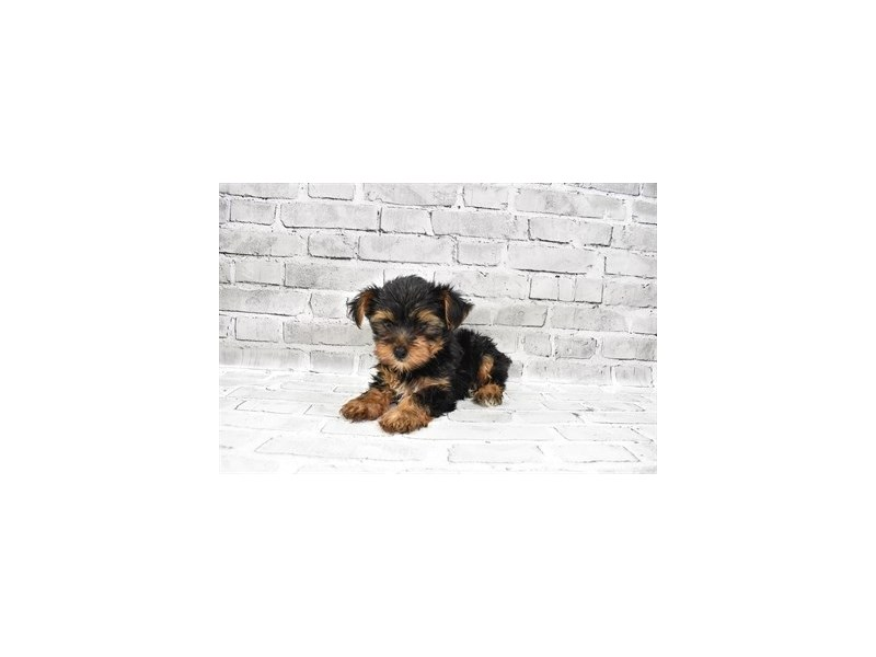 Yorkshire Terrier- Available 7/15-DOG-Male-Black and Tan-3219407-PetCenter Old Bridge Puppies For Sale