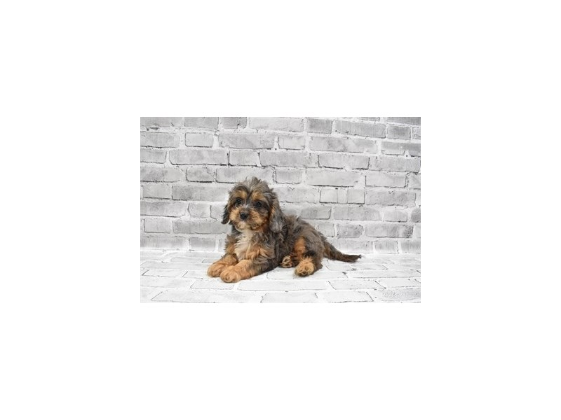 Cavapoo- Available 7/15-DOG-Male-Blue Merle-3219478-PetCenter Old Bridge Puppies For Sale