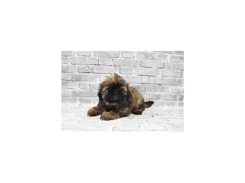 Shih Tzu- Available 7/15-DOG-Female-Gold-3219493-PetCenter Old Bridge Puppies For Sale