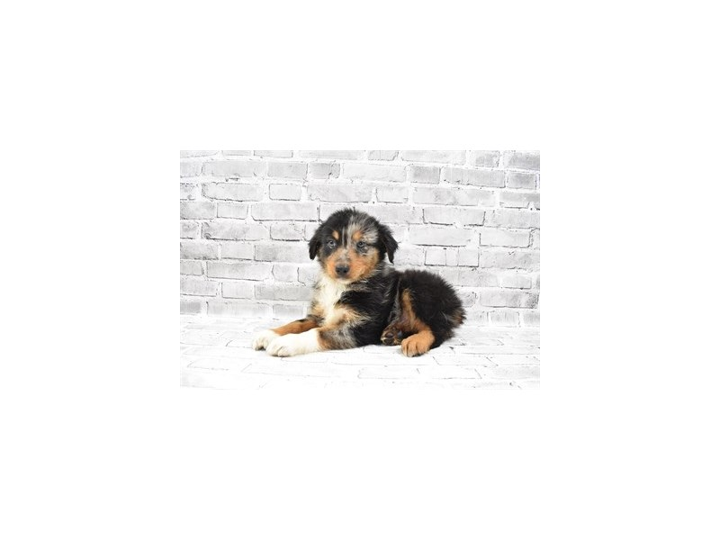 Australian Shepherd- Available 7/15-DOG-Male-Blue Merle White and Tan-3219498-PetCenter Old Bridge Puppies For Sale
