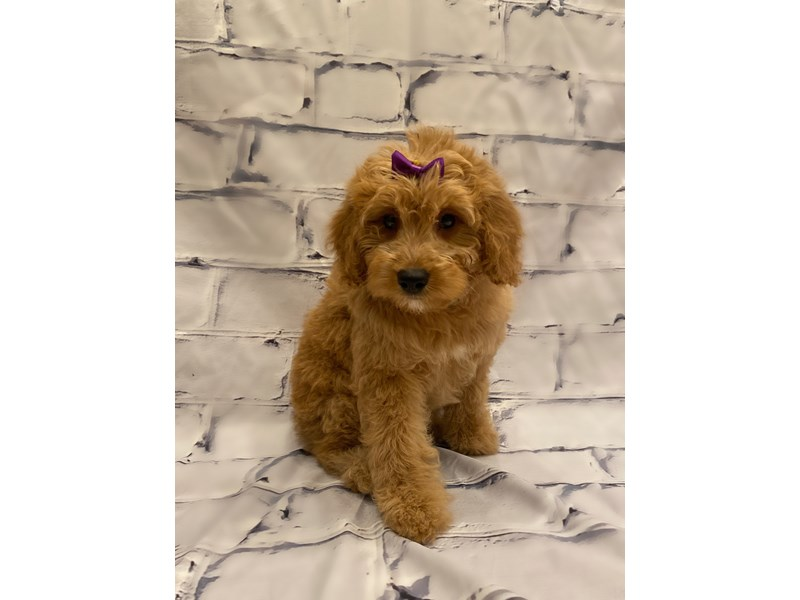 Goldendoodle- Available 7/22-DOG-Female-Red-3228881-PetCenter Old Bridge Puppies For Sale