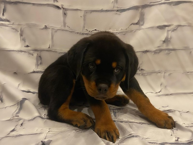Rottweiler- Available 7/22-DOG-Female-Black / Tan-3228884-PetCenter Old Bridge Puppies For Sale