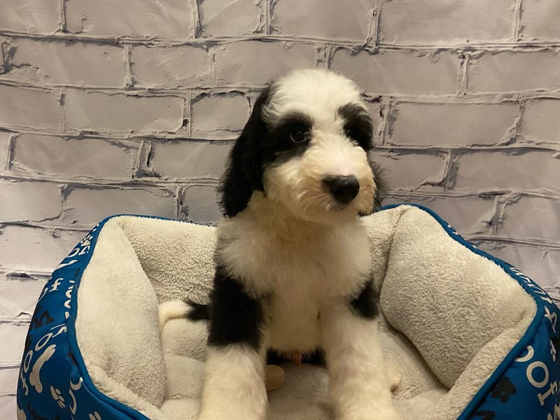 Sheepadoodle- Available 7/22-DOG-Male-Black / White-3228905-PetCenter Old Bridge Puppies For Sale