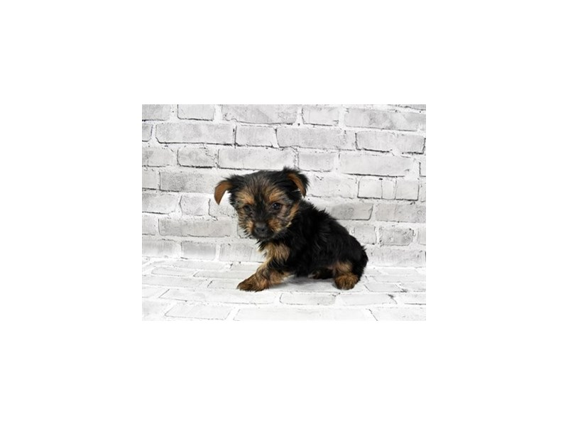 Yorkshire Terrier-Female-Black and Tan-3228973-PetCenter Old Bridge Puppies For Sale