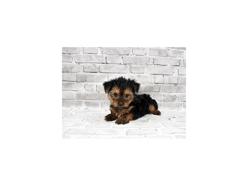 Yorkshire Terrier-Male-Black and Tan-3228976-PetCenter Old Bridge Puppies For Sale