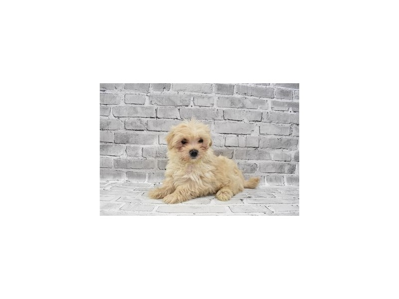 Morkie-Male-Gold-3229064-PetCenter Old Bridge Puppies For Sale