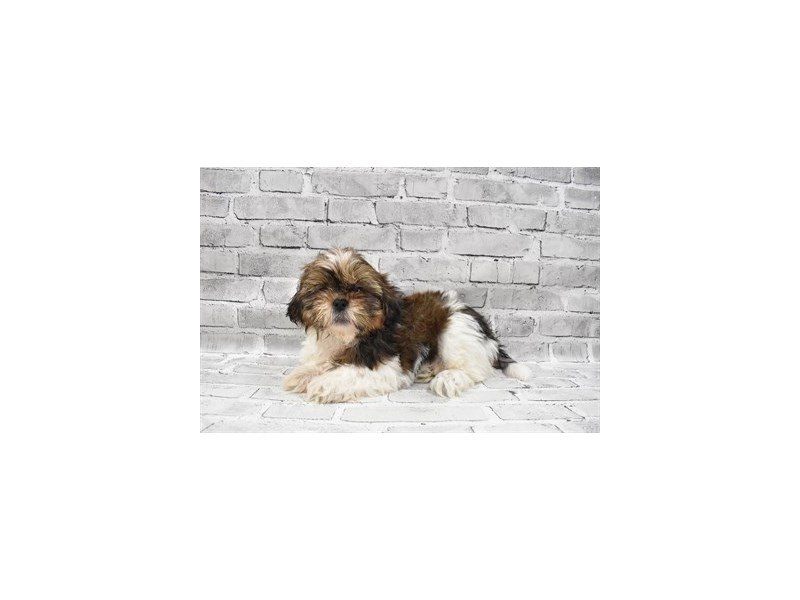 Shih Tzu-Male-Gold and White-3229119-PetCenter Old Bridge Puppies For Sale