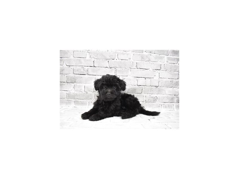 Shihpoo- Available 7/22-DOG-Female-Black-3229227-PetCenter Old Bridge Puppies For Sale