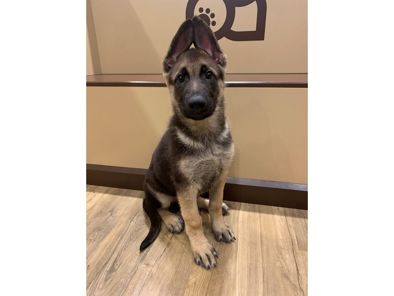 German Shepherd- Available 7/1-DOG-Male-Black / Tan-3199113-PetCenter Old Bridge Puppies For Sale