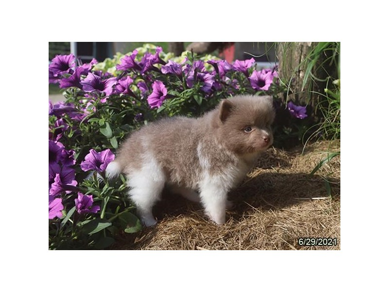 Pomeranian- Available 7/29-DOG-Male-Lilac-3235446-PetCenter Old Bridge Puppies For Sale