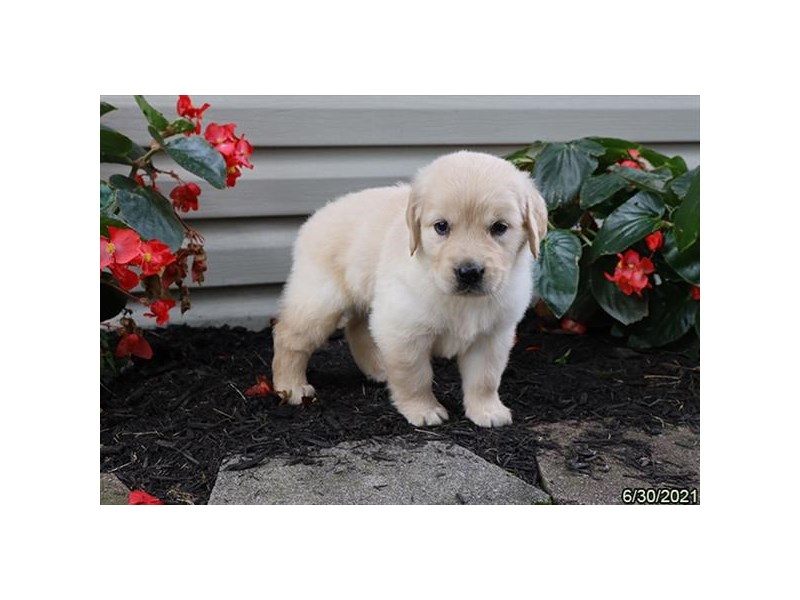 Golden Retriever- Available 7/29-DOG-Female-Light Golden-3235449-PetCenter Old Bridge Puppies For Sale
