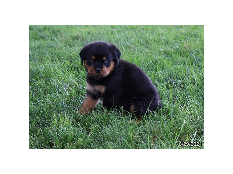 Rottweiler- Available 7/29-DOG-Female-Black / Tan-3235451-PetCenter Old Bridge Puppies For Sale