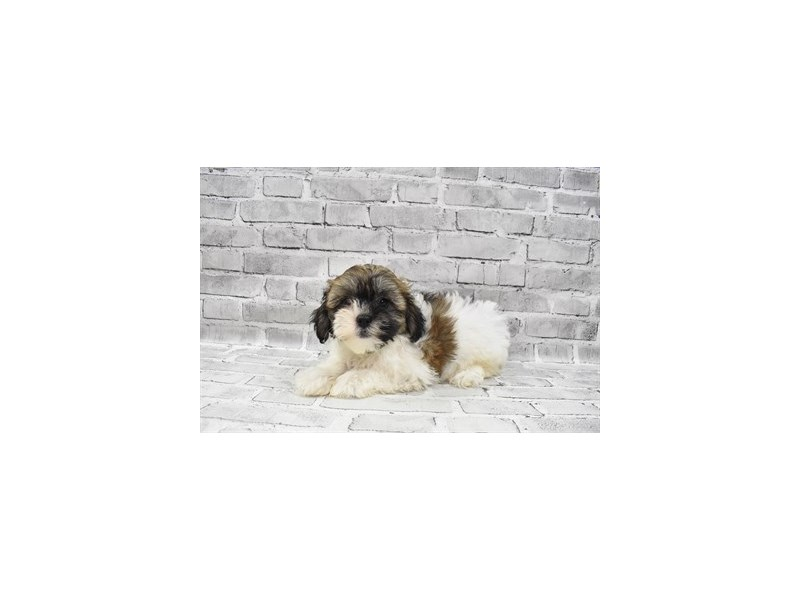 Teddy Bear - Available 7/29-DOG-Female-Black Gold and Silver-3238814-PetCenter Old Bridge Puppies For Sale