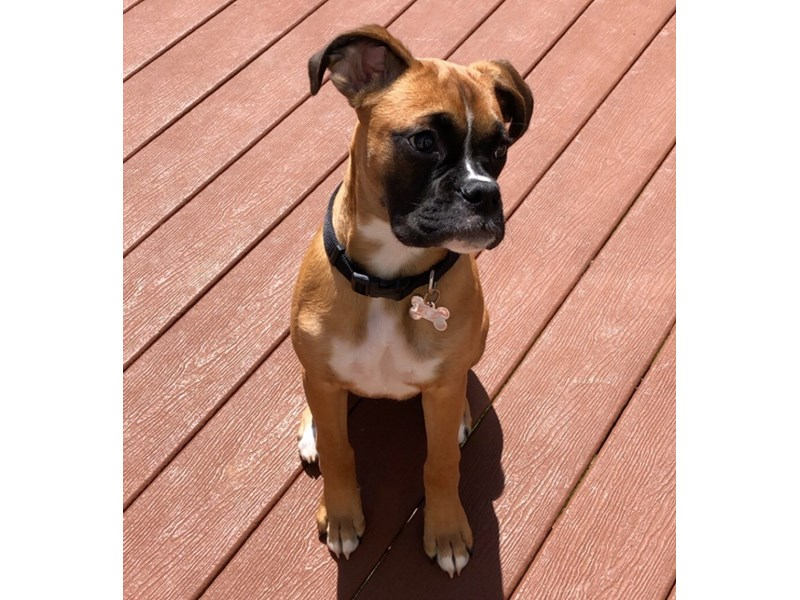 Boxer-Female-Fawn-2973309-PetCenter Old Bridge Puppies For Sale
