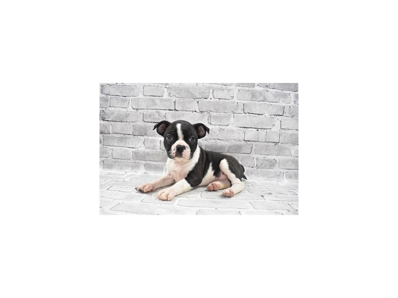 Boston Terrier- Available 6/24-DOG-Female-Brindle and White-3191023-PetCenter Old Bridge Puppies For Sale