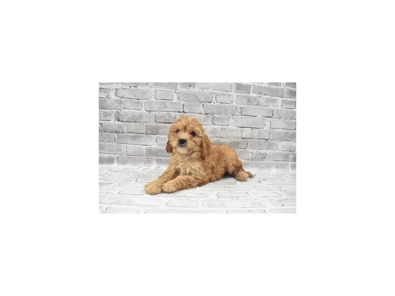 Cavapoo- Available 6/30-DOG-Male-Red-3200089-PetCenter Old Bridge Puppies For Sale