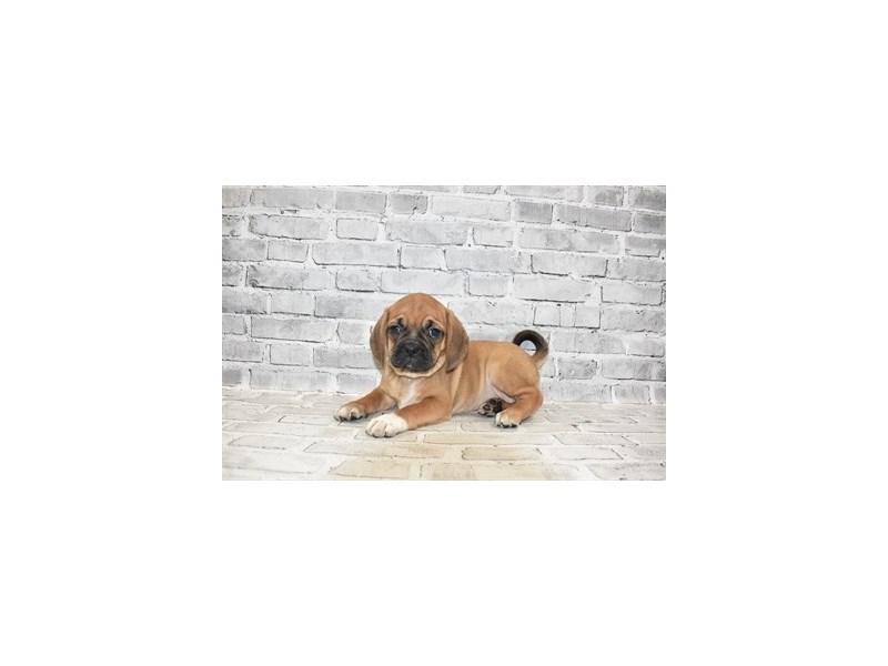 Puggle- Available 6/30-DOG-Female-Fawn-3200136-PetCenter Old Bridge Puppies For Sale