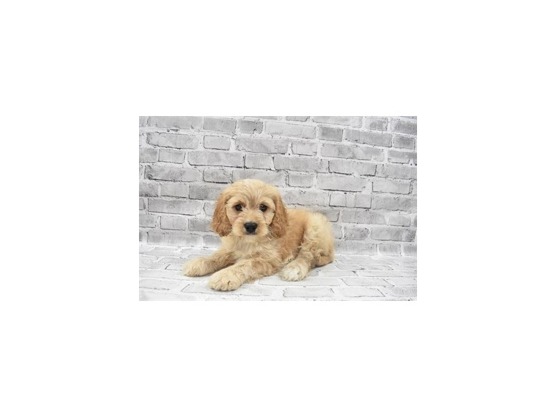 Cavachon- Available 6/30-DOG-Male-Cream-3200210-PetCenter Old Bridge Puppies For Sale