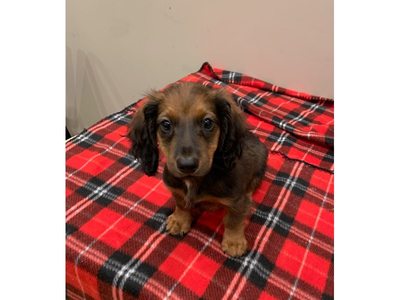 Dachshund- Available 6/30-DOG-Male-Wild boar-3200236-PetCenter Old Bridge Puppies For Sale