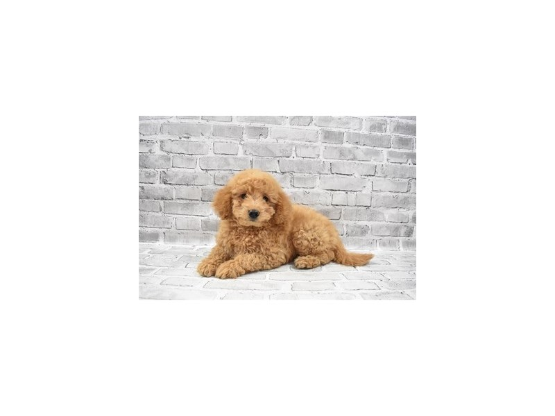 Mini Goldendoodle 2nd Gen- Available 7/8-DOG-Female-Apricot-3209455-PetCenter Old Bridge Puppies For Sale