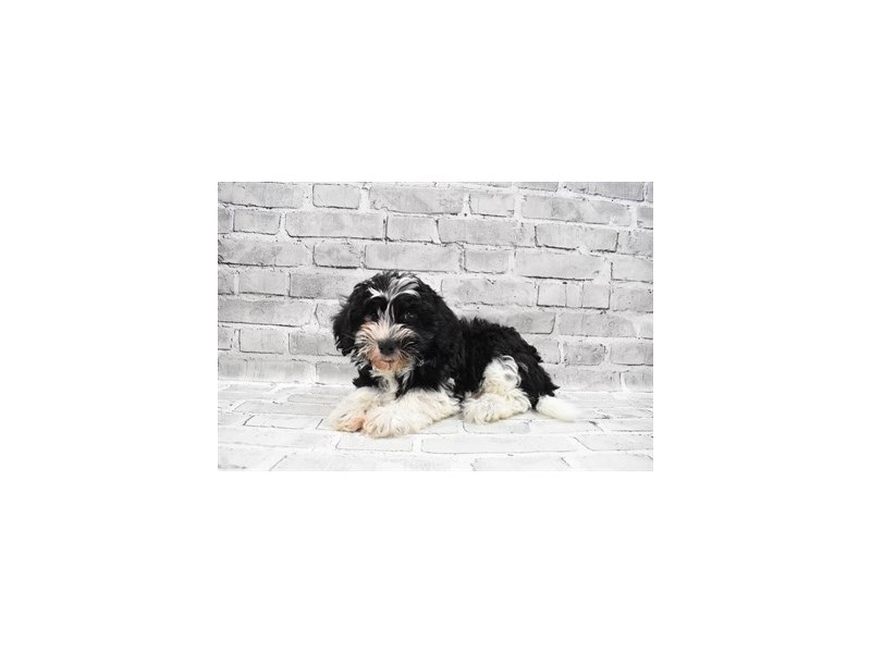 Havanese- Available 7/15-DOG-Female-Black and White-3219420-PetCenter Old Bridge Puppies For Sale
