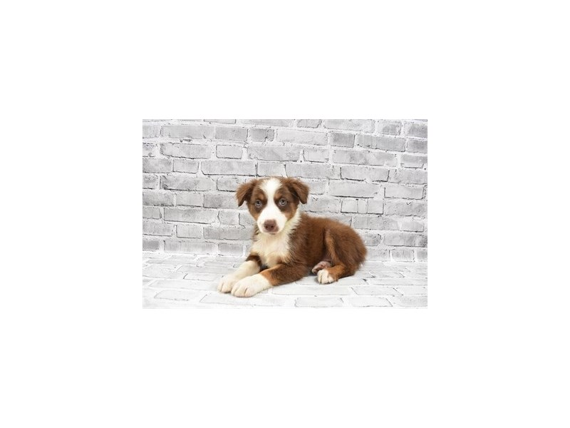Australian Shepherd- Available 7/15-Female-Red-3219499-PetCenter Old Bridge Puppies For Sale