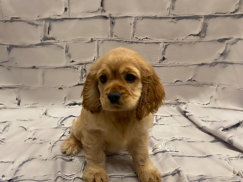 Cocker Spaniel- Available 7/22-DOG-Female-Buff-3228882-PetCenter Old Bridge Puppies For Sale