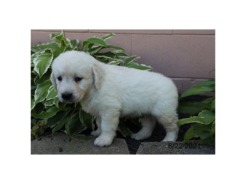 Golden Retriever- Available 7/22-DOG-Male-Cream-3228883-PetCenter Old Bridge Puppies For Sale