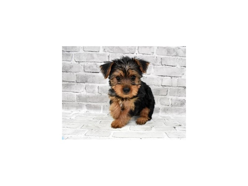 Yorkshire Terrier-Female-Black and Tan-3229009-PetCenter Old Bridge Puppies For Sale
