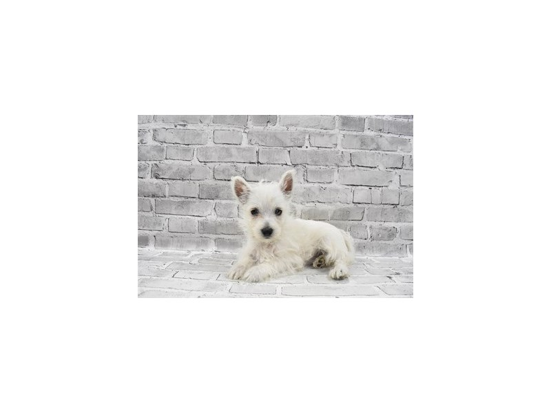 West Highland White Terrier-Female-White-3229030-PetCenter Old Bridge Puppies For Sale