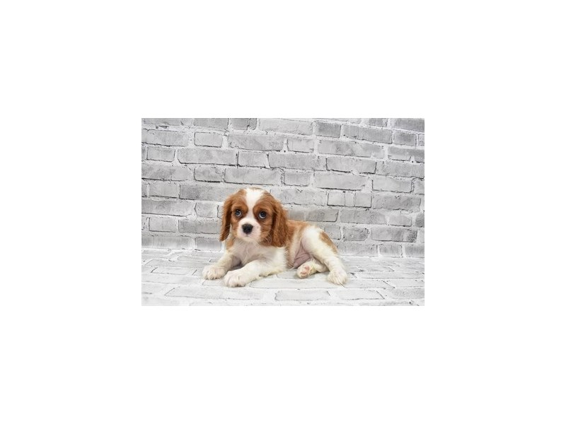 Cavalier King Charles Spaniel-Male-Blenheim-3229122-PetCenter Old Bridge Puppies For Sale