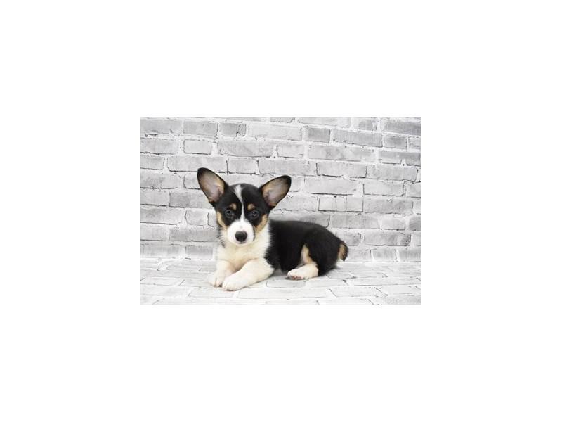 Pembroke Welsh Corgi- Available 7/22-DOG-Female-Black and Tan-3229125-PetCenter Old Bridge Puppies For Sale