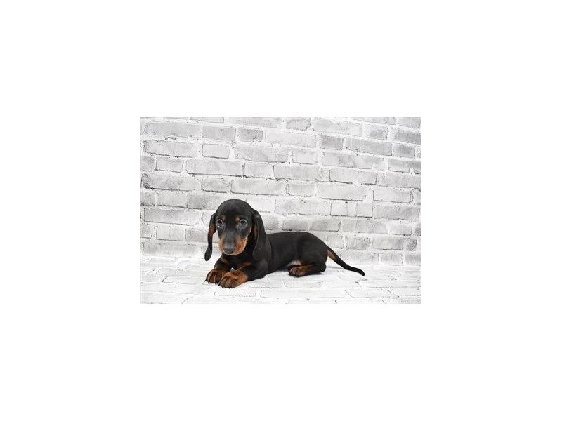 Dachshund-Male-Black and Tan-3229129-PetCenter Old Bridge Puppies For Sale
