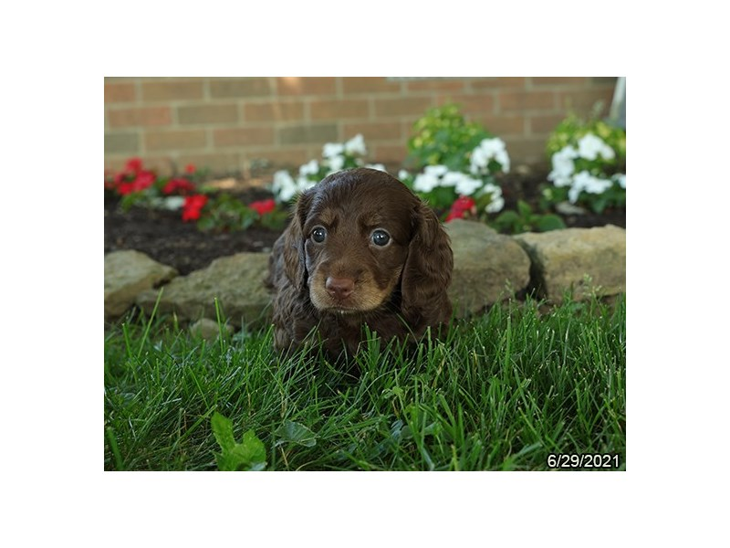 Dachshund- Available 7/29-DOG-Female-Chocolate-3235452-PetCenter Old Bridge Puppies For Sale