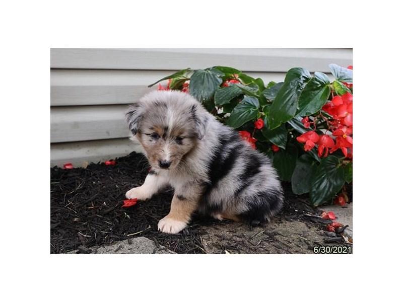 Australian Shepherd- Available 7/29-DOG-Female-Blue Merle-3235453-PetCenter Old Bridge Puppies For Sale