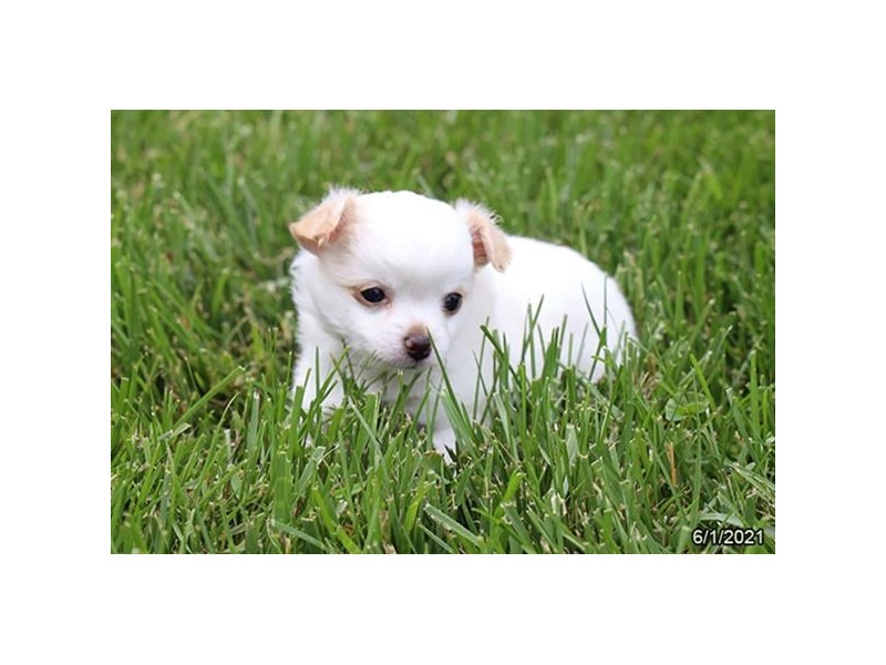 Chihuahua- Available 7/29-DOG-Female-White / Cream-3235456-PetCenter Old Bridge Puppies For Sale