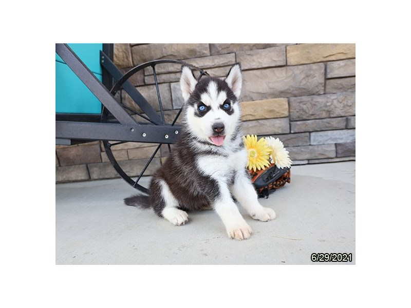 Siberian Husky- Available 7/29-DOG-Male-Black / White-3235973-PetCenter Old Bridge Puppies For Sale