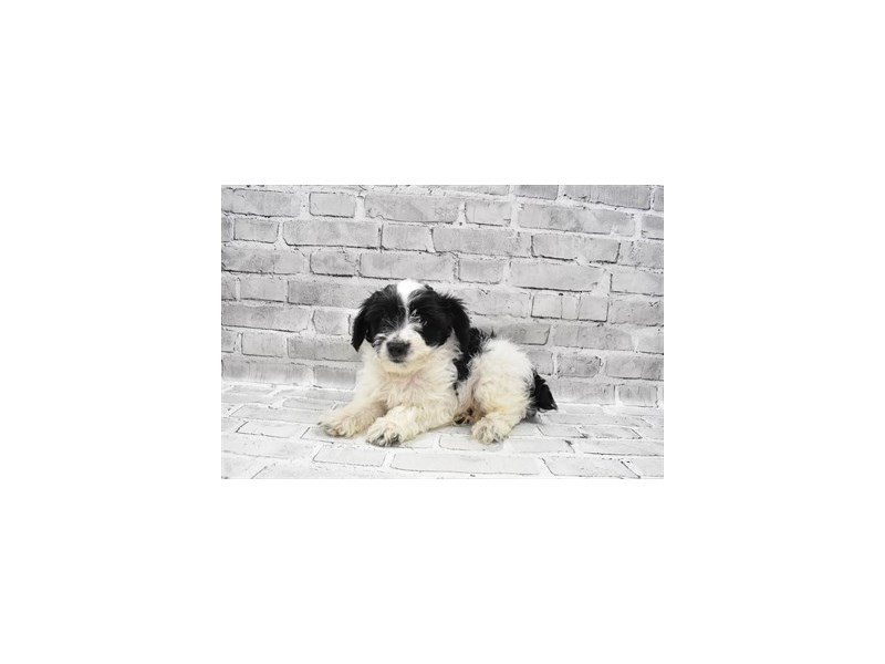 Yorkiepoo-Male-Black and White-3238690-PetCenter Old Bridge Puppies For Sale